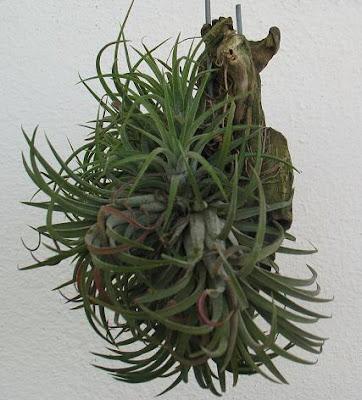 Life Air Plants