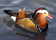 I wish I could say I had a beautiful Mandarin duck in my home. (mandarin)