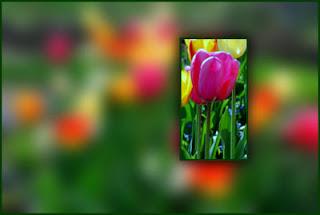Tulip Festivals in British Columbia, Canada