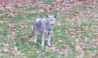 coyote2 Cassandras Photography In My Backyard this Morning...