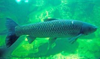 H a z a r d f i s h i n g white amur 39 39 grass carp 39 39 for White amur fish
