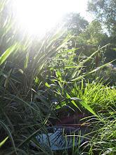 Randgräs i motljus