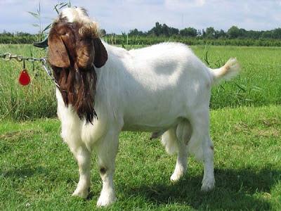 klasifikasi dan informasi mengenai kambing atau wedhus
