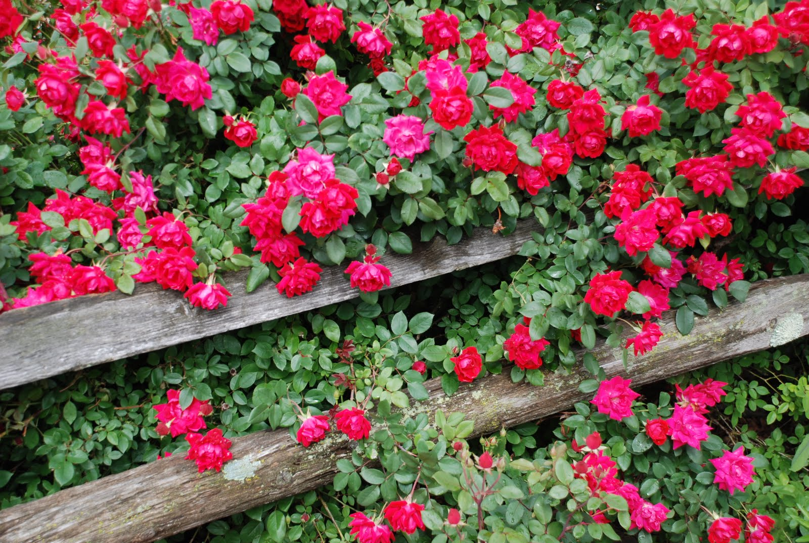 Valley view farms plant of the week knock out roses - When to plant roses ...