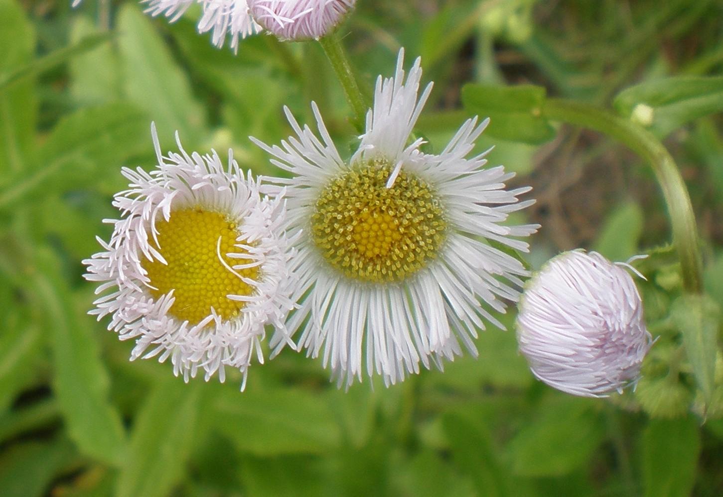 Weed of the week daisy or annual fleabane penn state turfgrass weed of the week daisy or annual fleabane izmirmasajfo