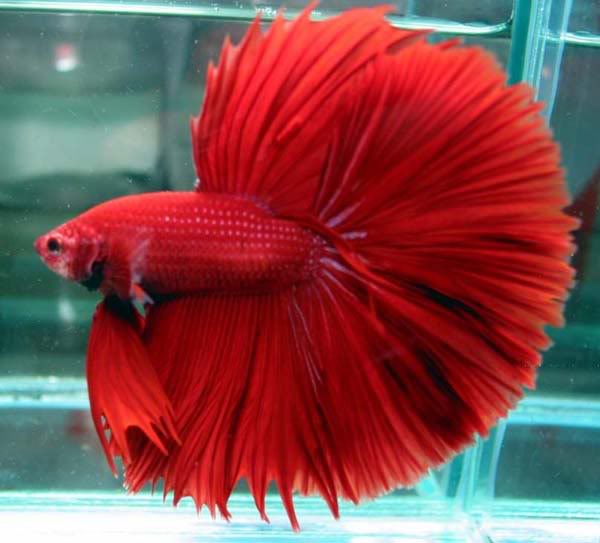 Super RedHMBalanceFinnage Fish