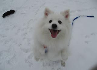 casper d dog hi my name is casper i am a mini american eskimo