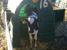 A calf in its' hutch waiting for milk