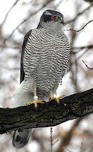 Northern Goshawk