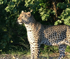 Leopard in the Kruger