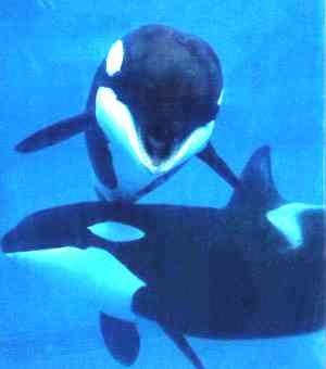 http://2.bp.blogspot.com/_QbSdIg4Pl6Y/Slf2mE-cRaI/AAAAAAAAAxk/jJ18BpgWTjM/s400/baleia-orca.jpg