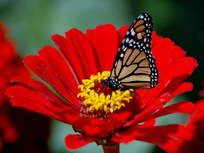 Leptiri - Page 5 Animals_Insects_Butterfly_on_red_flower_005541_