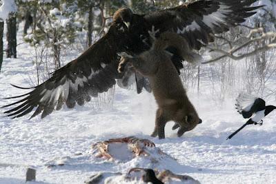 Águila Real levantando un zorro, y un pariente saliendo por patas