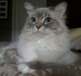 blue lynx mitted ragdoll cat