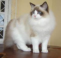 Full Grown Ragdoll Cat Picture