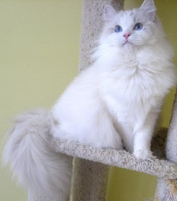 A Beautiful Blue Bi-Color Lynx Ragdoll Cat