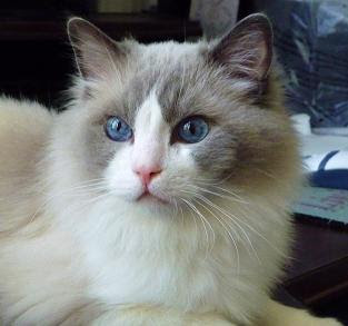 A Bicolor Ragdoll Cat Staring Picture