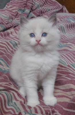 bicolor seal ragdoll kitten pics on a bed