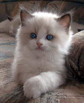 very cute bicolor ragdoll kitten with blue eyes pics