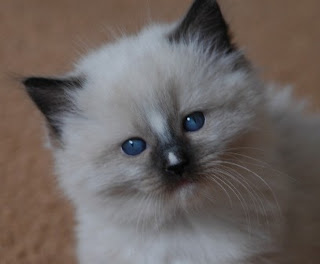 pointed blue eyes ragdoll kitten staring