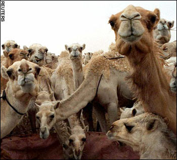 Someone told me - years ago that giving camels to the murder victims family ...