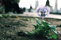 A pansy from the Pansey Project