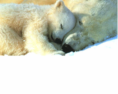 The polar bear(Ursus maritimus) is a bear native to the Arctic.
