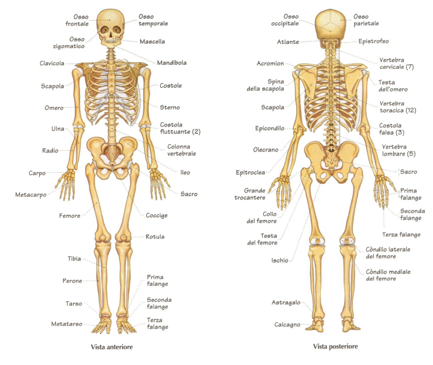il sistema scheletrico mappa concettuale con collegamenti