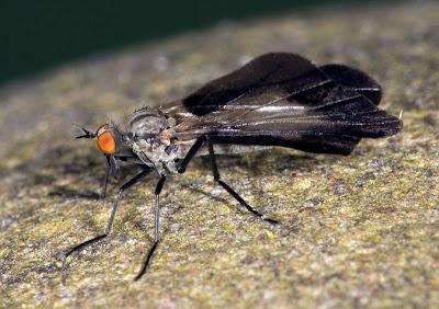 Rhamphomyia marginata female