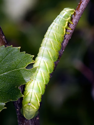 Kentish Glory larva
