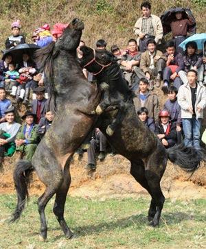 Koleksi Foto Kuda Aduan