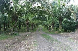 Koleksi Foto Pohon Kelapa Sawit