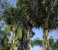 Koleksi Gambar Pohon Aren | Koleksi Foto dan Gambar
