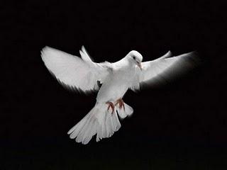 Koleksi Gambar Burung Merpati Hias | Koleksi Foto dan G