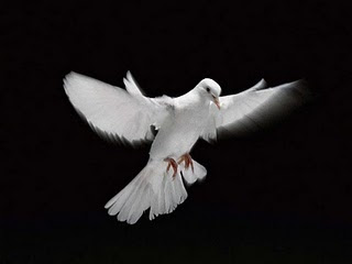 Burung Merpati Hias Jacobin