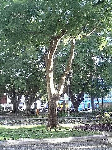 O cultivo a vida pau brasil - Caesalpinia gilliesii cultivo ...