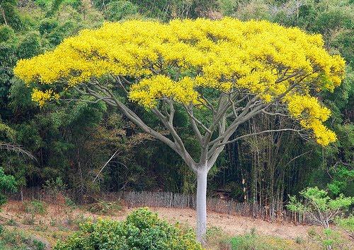 O cultivo a vida schizolobium parahyba ou guapuruvu - Caesalpinia gilliesii cultivo ...