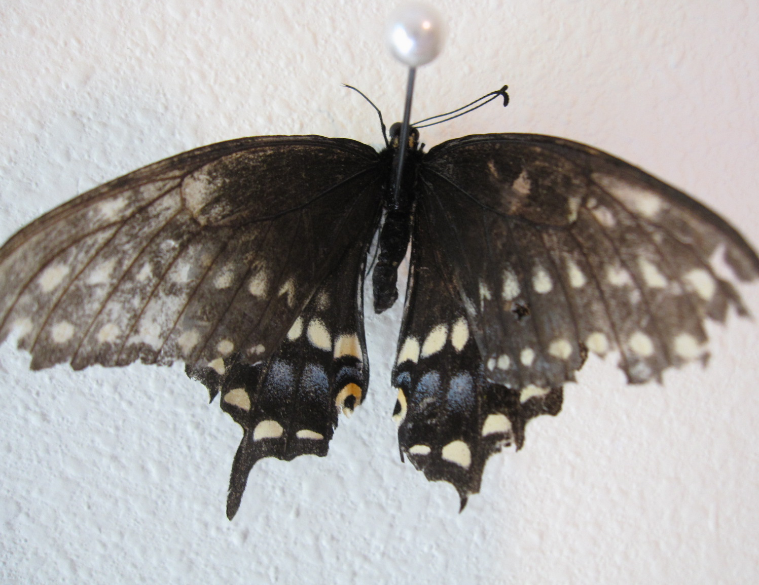 How to Find and Catch Swallowtail Butterflies How to Find and Catch Swallowtail Butterflies new foto