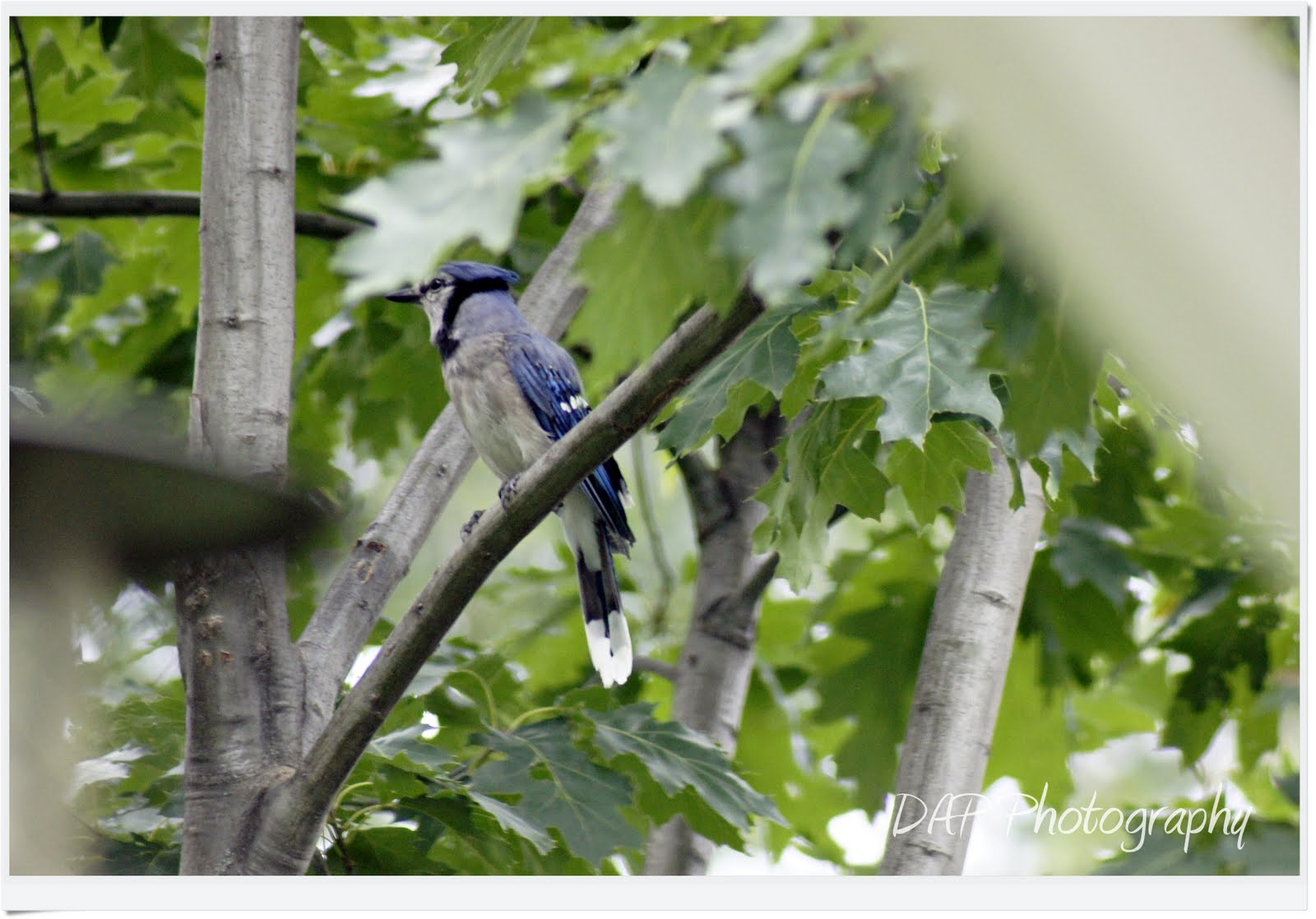 Mystic Pics: How To Attract Blue Jays To Your Yard (or ...