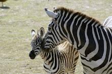 Ayer nació una cebra, en Bs As . Hija de Quijote y Dulcinea