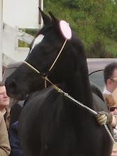 """""""SIRKA VIZANO"""" Potra P.R.á de 4 años, capa negra, nacida y criada en nuestra ganadería"""