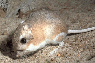 Wonderful World Of Rats: Rat species of the day- Kangaroo Rat