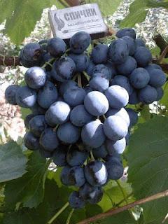 Виноград Костя
