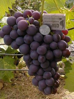 Виноград Бригантина
