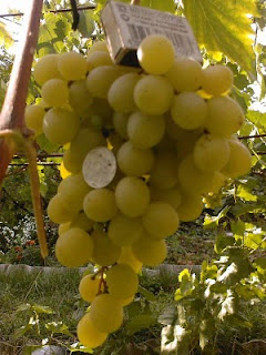 Виноград Тигин