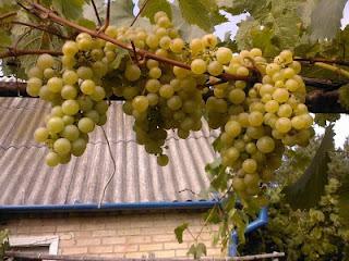 Виноград Киевский ранний