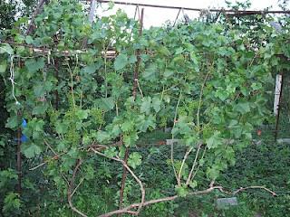 Куст винограда Бригантина
