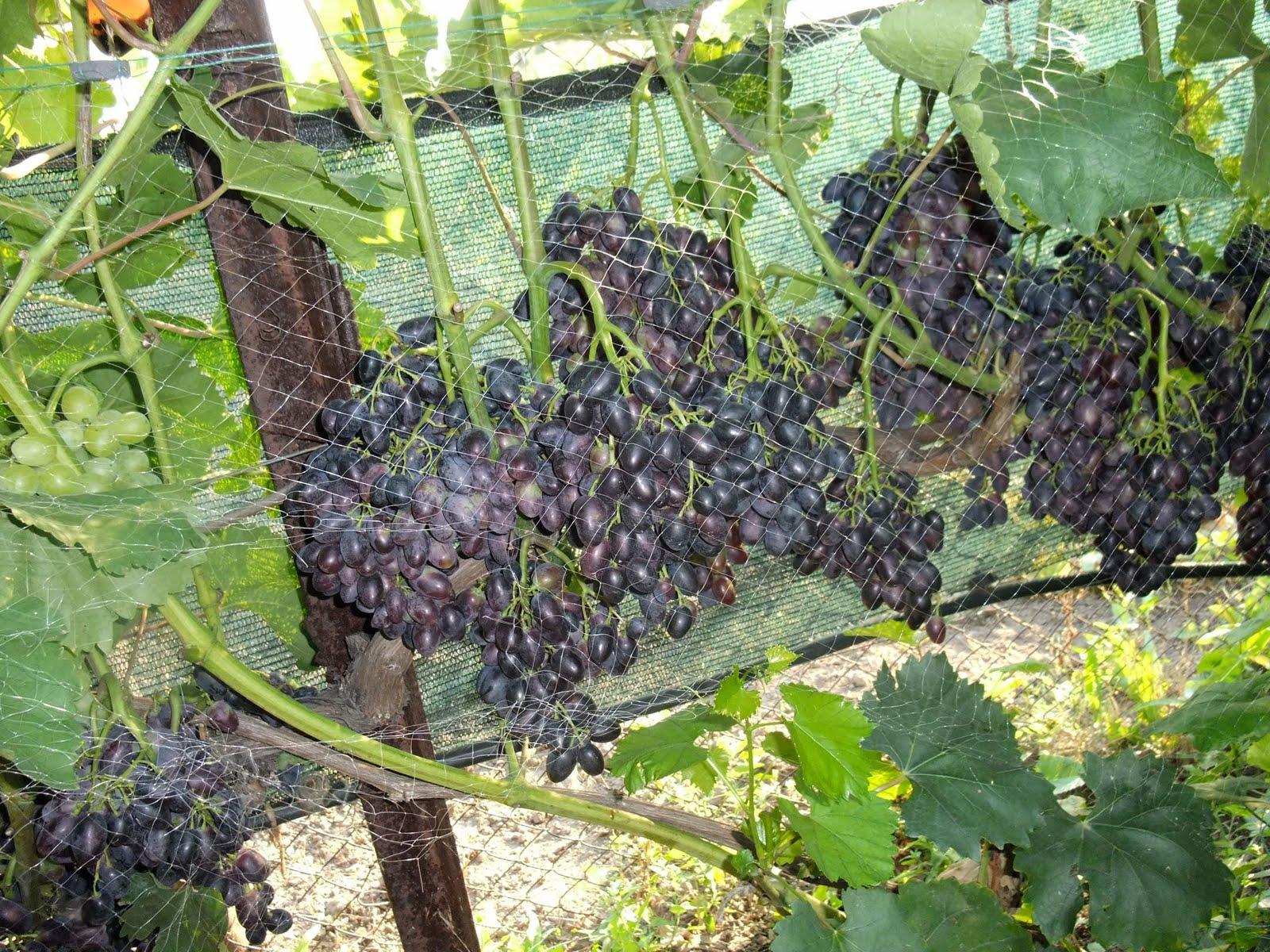 Виноград кодрянка  описание