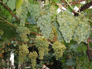 Урожай сортов Плевен и Киевский ранний