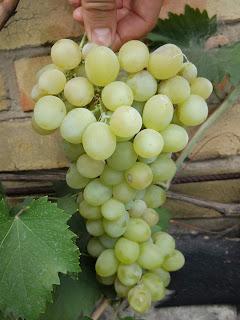 Гроздь сорта винограда Болгария